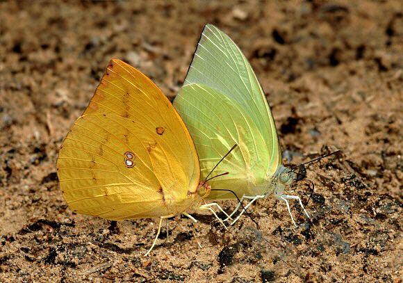 Catopsilia pomona Butterflies of Malaysia Catopsilia pomona