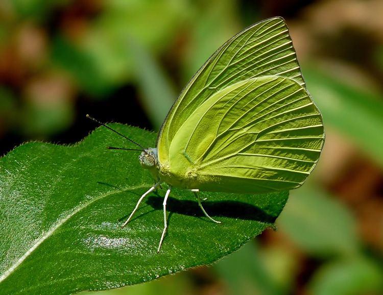Catopsilia pomona FileCatopsilia pomona by kadavoor editpng Wikimedia Commons