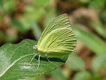 Catopsilia pomona httpsuploadwikimediaorgwikipediacommonsthu