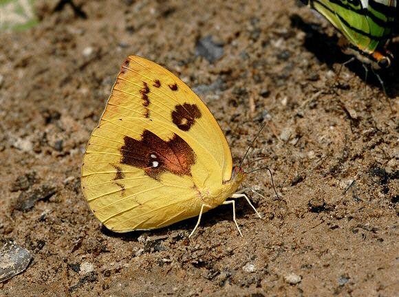Catopsilia pomona Butterflies of India Catopsilia pomona