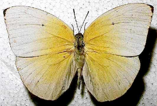 Catopsilia pomona Catopsilia pomona