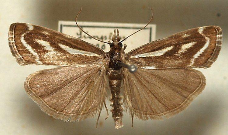 Catoptria luctiferella
