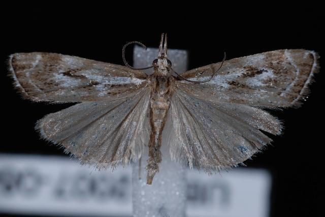 Catoptria oregonicus