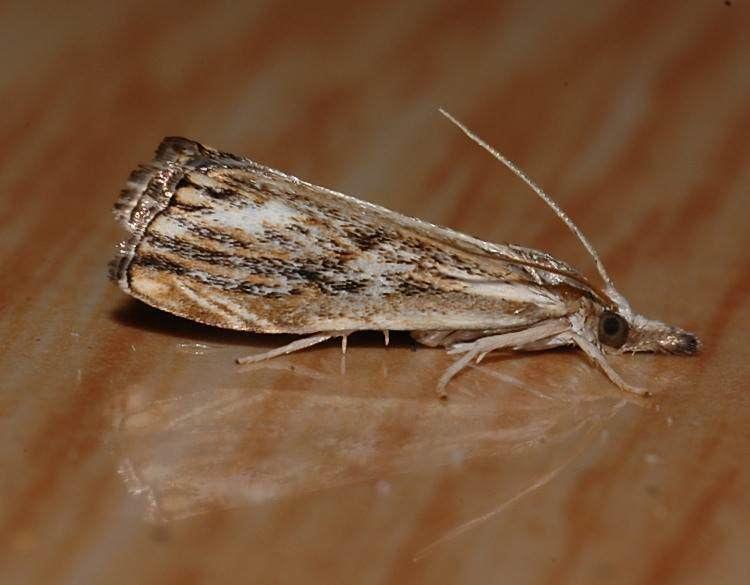 Catoptria verellus wwwukmothsorguksiteassetsfiles13393catoptr