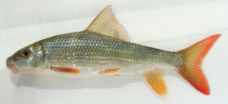 Catostomidae River Redhorse quotMosostoma carinatumquot Class Osteichthyes Order
