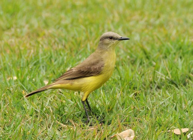 Cattle tyrant Cattle Tyrant Machetornis rixosa Single bird on a lawn the
