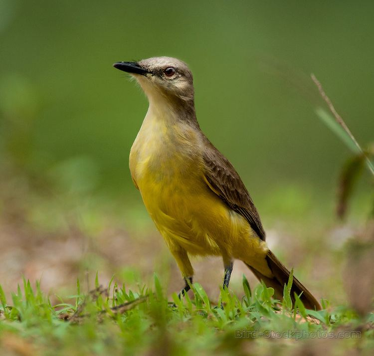 Cattle tyrant Cattle Tyrant Machetornis rixosa Pantanal Brazil Bird Stockphotos