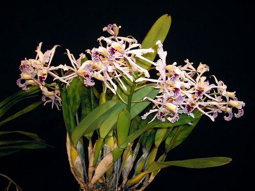 Cattleya crispa Cattleya crispa syn Laelia crispa 20110314 03 a photo on