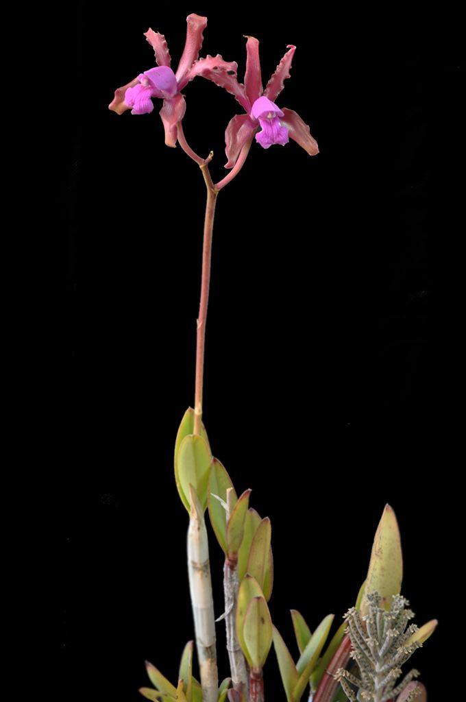 Cattleya elongata Cattleya elongata BarbRodr Cassano A Flickr