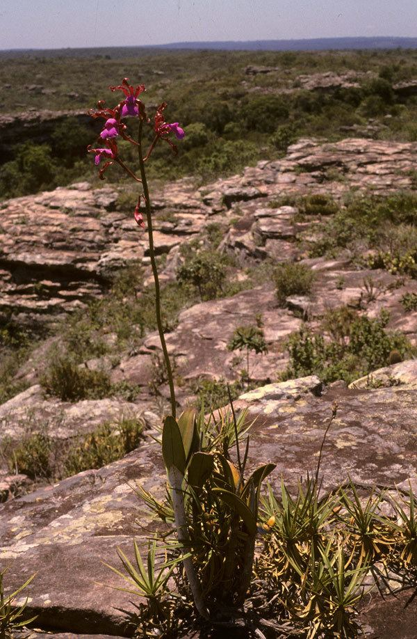Cattleya elongata Advanced Search
