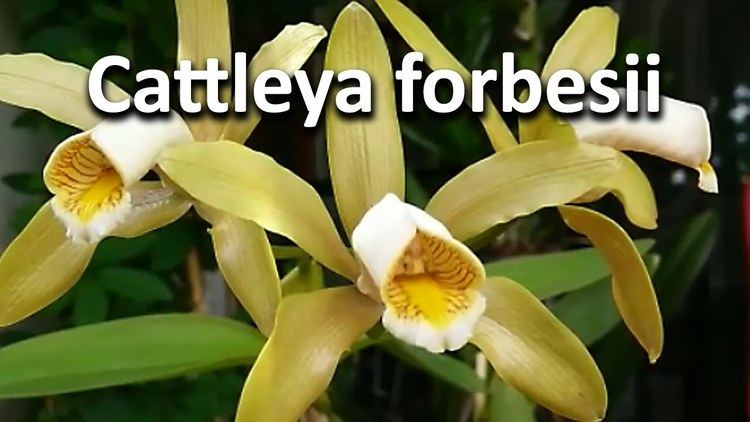Cattleya forbesii Cattleya forbesii YouTube