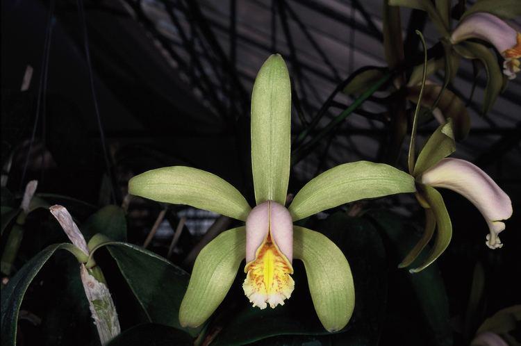 Cattleya forbesii IOSPE PHOTOS