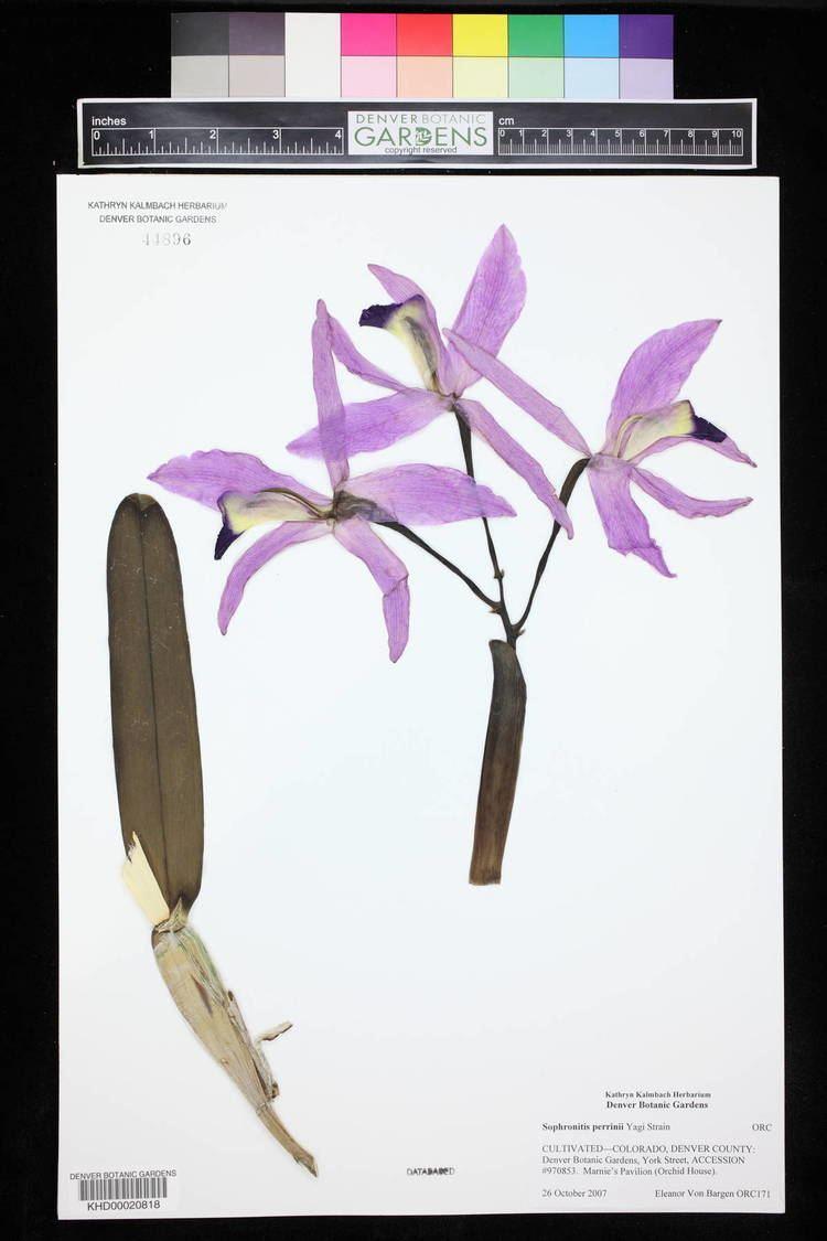 Cattleya perrinii hasbrouckasueduimglibseinetKHDKHD00020KHD00