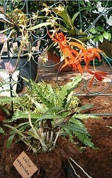 Cattleya sanguiloba httpsuploadwikimediaorgwikipediacommonsthu