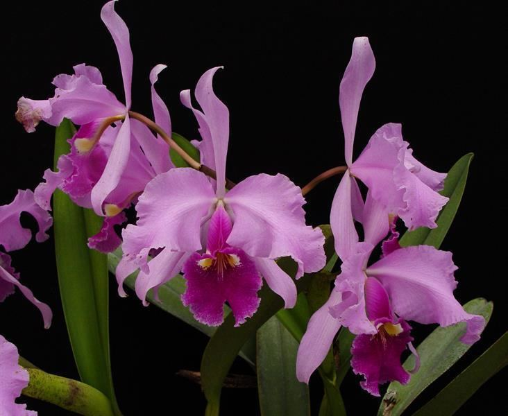 Cattleya warscewiczii Cattleya warscewiczii 39Columbo Sanderiana39 presented by Orchids Limited