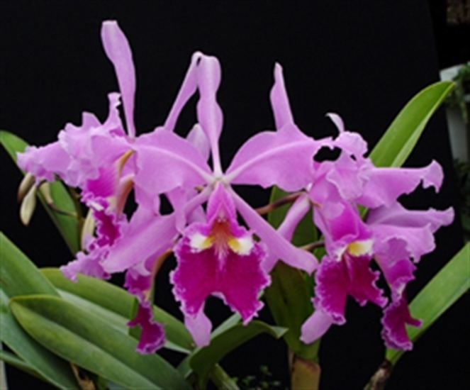 Cattleya warscewiczii Cattleya warscewiczii 39Jupiter39 presented by Orchids Limited