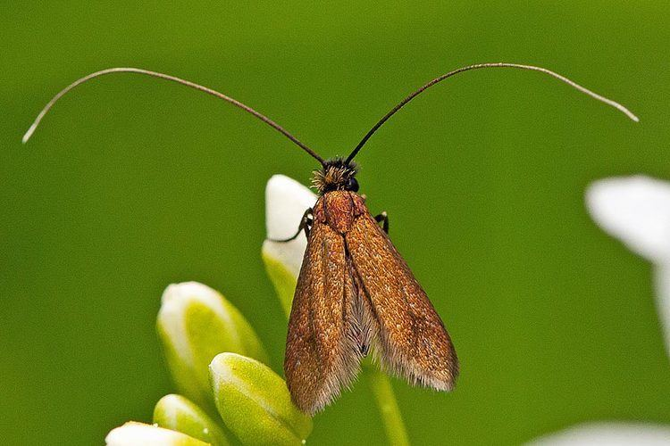 Cauchas rufimitrella Bestimmungshilfe des Lepiforums Cauchas Rufimitrella
