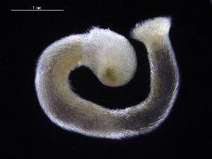 Caudofoveata BOLD Systems Taxonomy Browser Falcidens genus