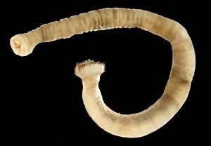 Caudofoveata molluscsatimagesweichtiereaplacophorachinter