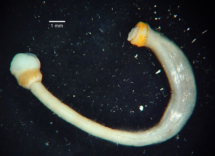 Caudofoveata Real Monstrosities Aplacophora
