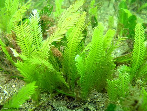 Caulerpa taxifolia CISR Caulerpa