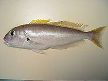 Caulolatilus cyanops httpsuploadwikimediaorgwikipediacommonsthu