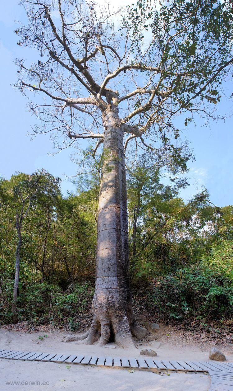 Cavanillesia platanifolia httpsuploadwikimediaorgwikipediacommonsthu