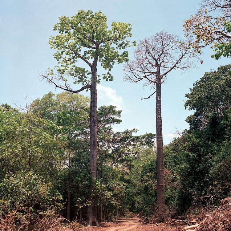 Cavanillesia platanifolia Azuero Earth Project Cavanillesia platanifolia Azuero Earth Project