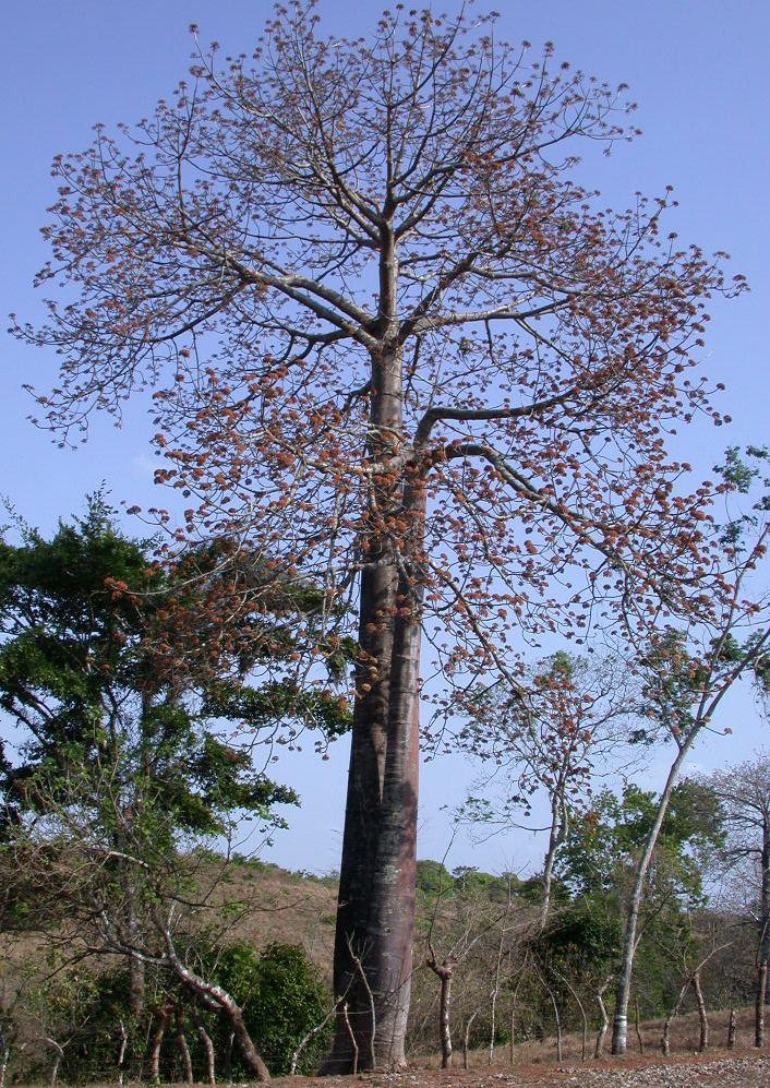 Cavanillesia platanifolia Panama watershed tree atlas