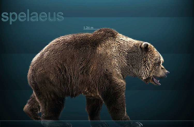 Cave bear The bear and cavebear in fact myth and legend