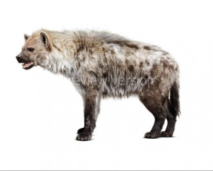 Cave hyena Crocutacrocutaspelaea738x591jpg