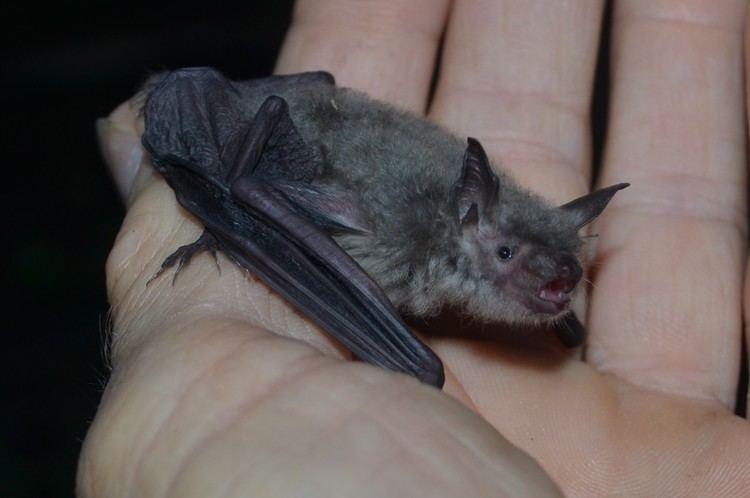 Cave myotis Cave Myotis Austin Bat Refuge