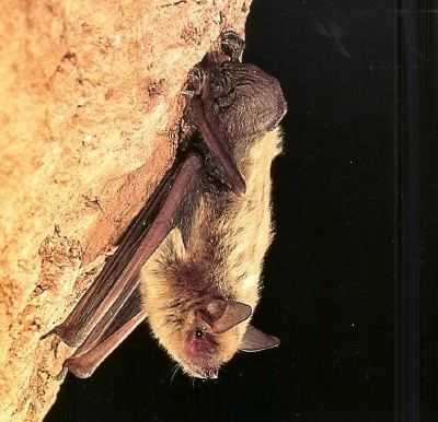 Cave myotis Sonoran Desert mammals Cave Myotis Myotis velifer