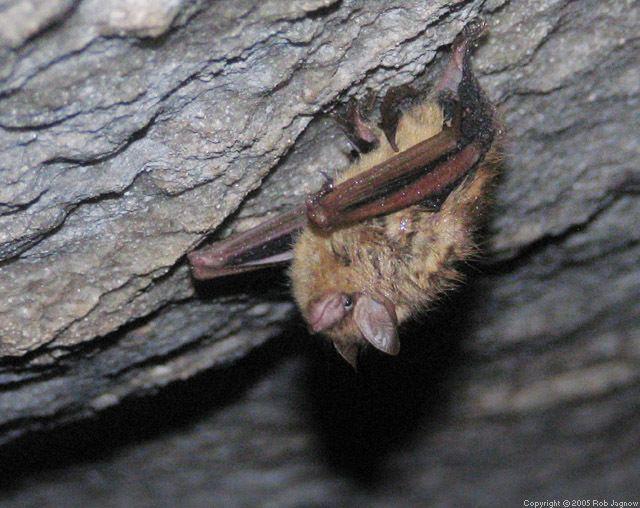 Cave myotis Myotis velifer Mouseeared bat Cave bat
