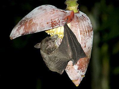 Cave nectar bat Cave Nectar Bat Eonycteris spelaea