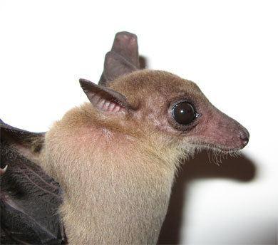 Cave nectar bat wwwbiobrisacukresearchbatsChina20batsimag