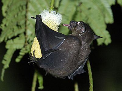 Cave nectar bat Cave Nectar Bat Dawn Bat Facts