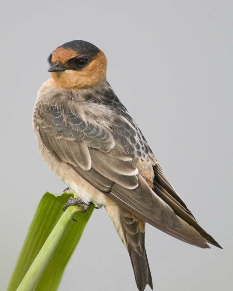 Cave swallow Cave Swallow Audubon Field Guide