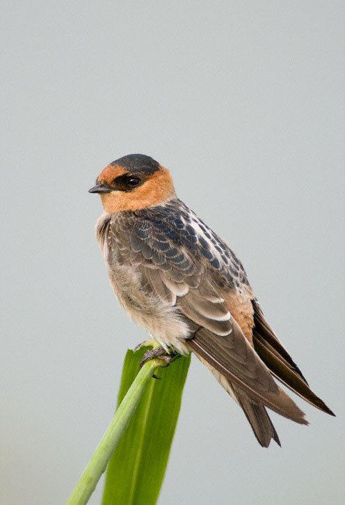 Cave swallow Cave Swallow Petrochelidon fulva