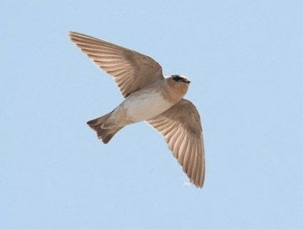 Cave swallow Cave Swallow Identification All About Birds Cornell Lab of