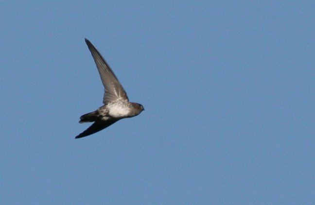 Cave swiftlet Oriental Bird Club Image Database Cave Swiftlet Collocalia linchi