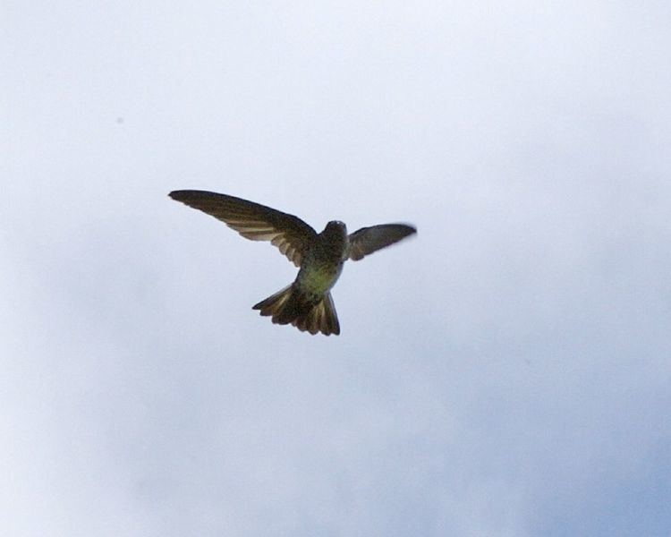 Cave swiftlet FileCave Swiftlet Collocalia linchijpg Wikimedia Commons