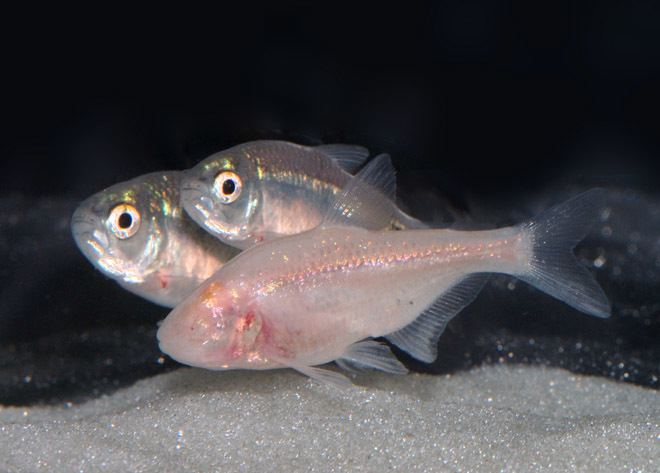 Cavefish Insomniac Cavefish May Hold Clues to Human Sleep Disorders WIRED