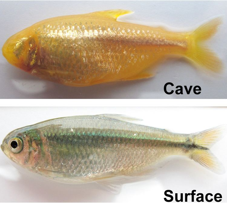 Cavefish Blind Cave Fish May Provide Insight on Eye Disease and Other Human