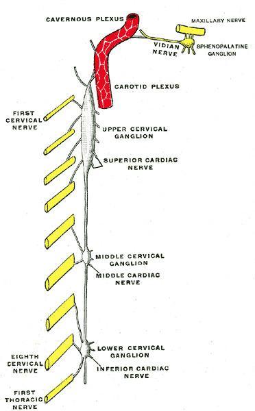 Cavernous nerve plexus