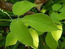 Cayratia mollissima httpsuploadwikimediaorgwikipediacommonsthu