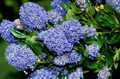 Ceanothus RHS advice amp tips on garden amp indoor plants Plant finder