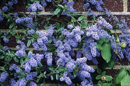 Ceanothus CeanothusRHS Gardening
