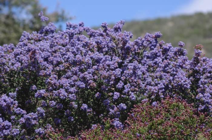 Ceanothus California Lilac Ceanothus