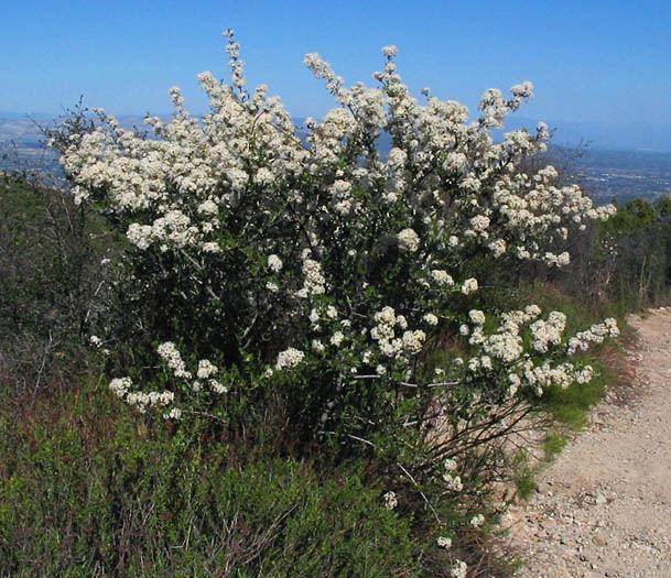 Ceanothus crassifolius Wildflowers NPS SAMO NRA Ceanothus crassifolius var